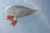 slylit gull