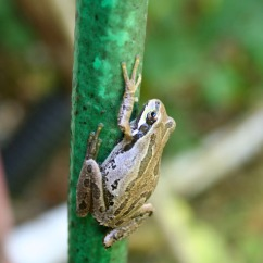 frog on hose