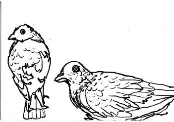 pigeon staresketch